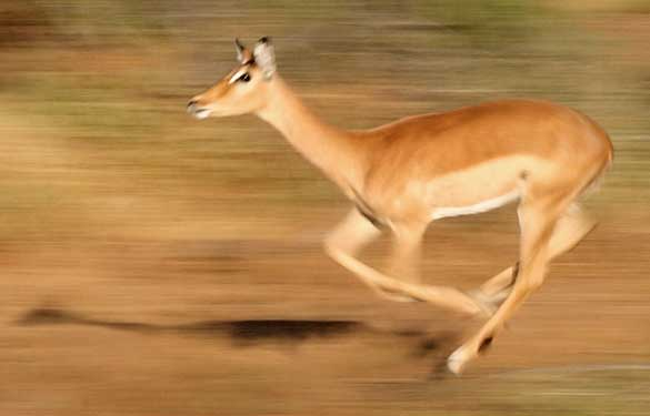 Impala running in fear, motion blur
