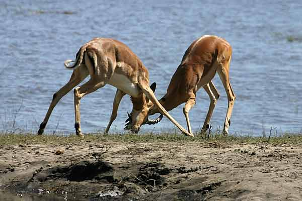 Impala rams locking horns, Chobe National Park, Botswana