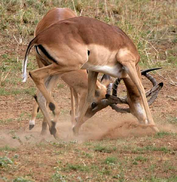Impala rams sparring and locking horns