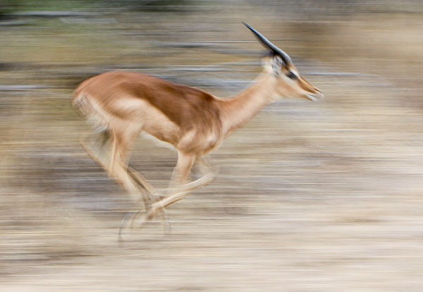Impala ram running at speed, motion blur