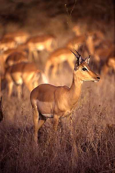 Young impala ram, warm light