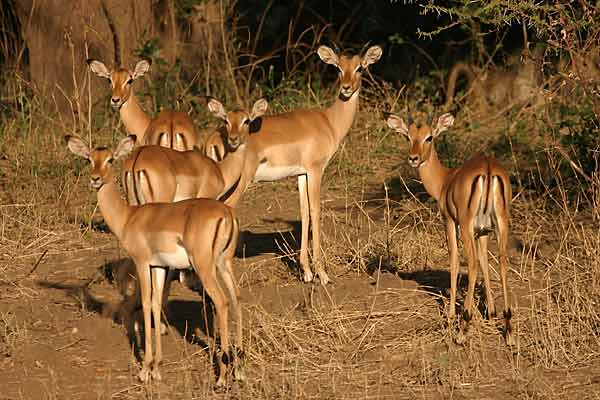 Impala females in group