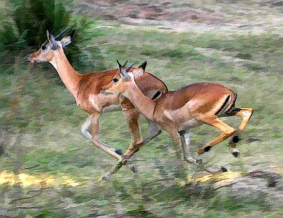 Impala running for cover