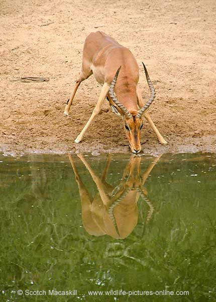 Impala Ram at Waterhole, Mkuzi Game Reserve