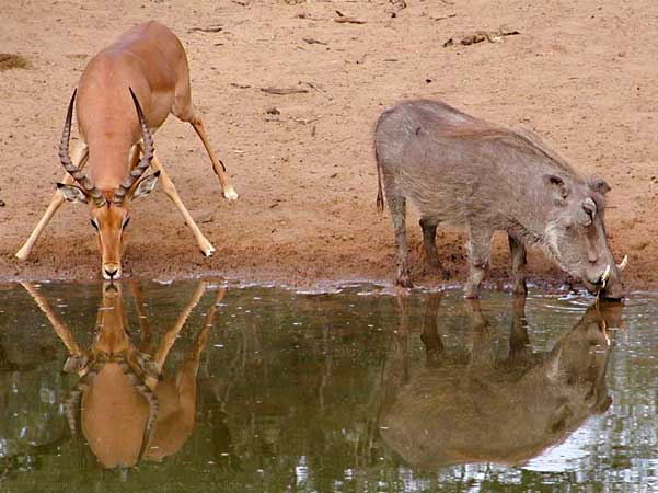 impala and warthog at waterhole