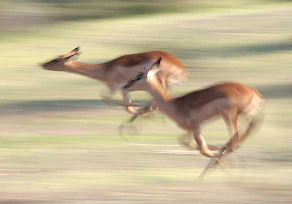 pair of impala flee through the bush, motion blur effect