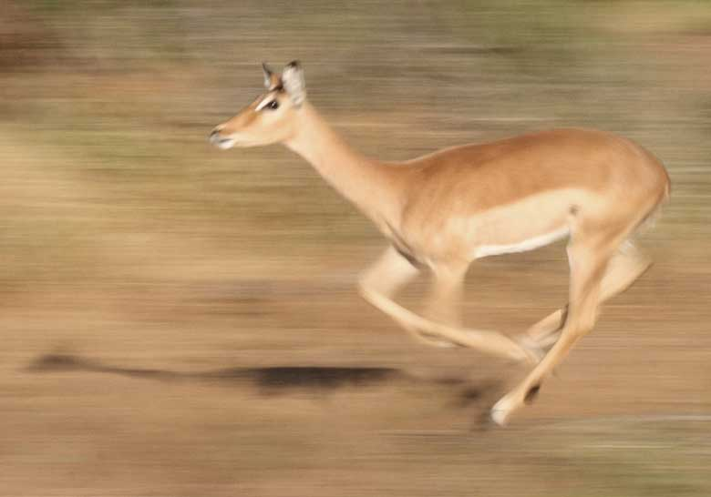 Impala running at full speed
