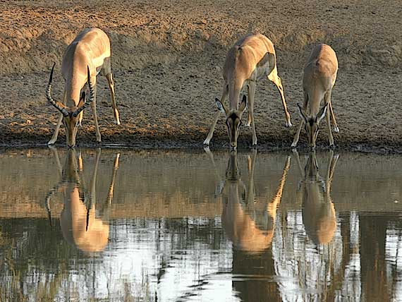 Impala antelope drinking from waterhole, Botswana