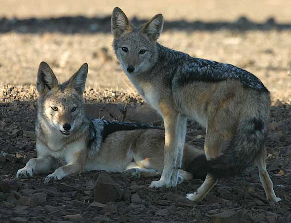 Pair of black-backed jackals