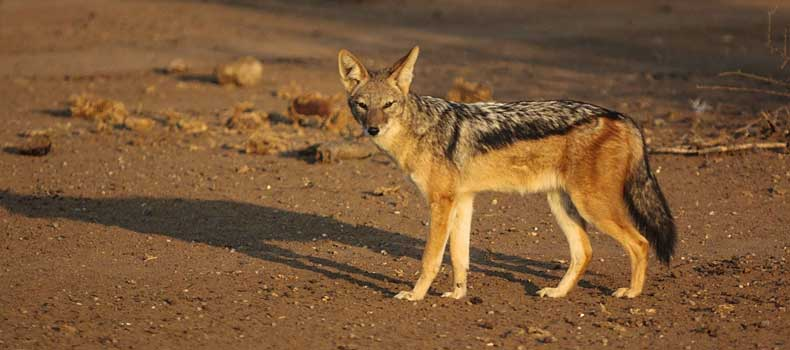 Black-backed jackal, side view, Mashatu Game Reserve, Botswana