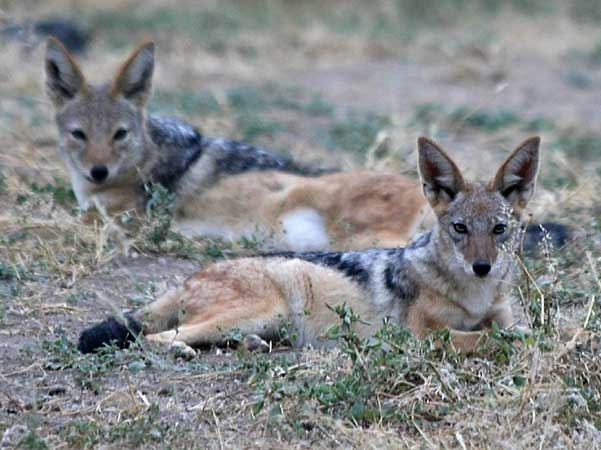 Pair of black-backed jackals, Botswana