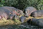 Picture of hippos