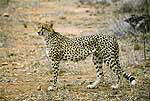 Picture of cheetah