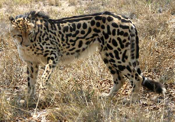 King Cheetah, side-on view