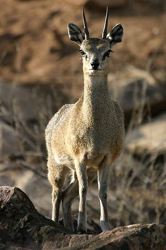 Klipspringer antelope, male