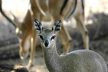 Klipspringer and impala, Tuli Block, Botswana