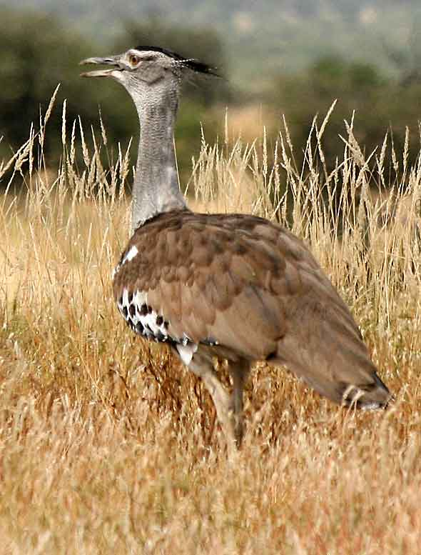 Kori bustard walking through grassland