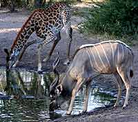 Kudu and giraffe