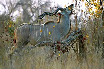 Kudu bull browsing, Sabi Sand, South Africa