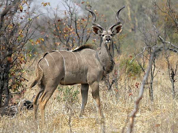 Kudu bull, Hwange National Park