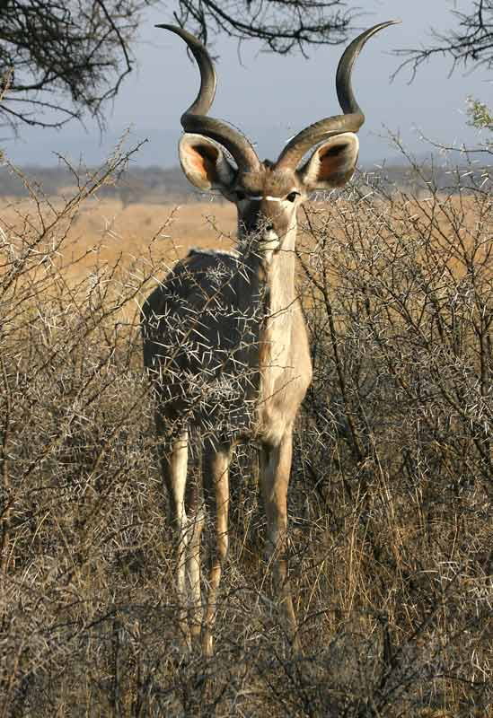 Kudu Bull in Thorn Scrub