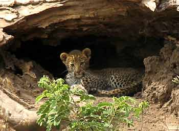 Leopard cub in tree trunk