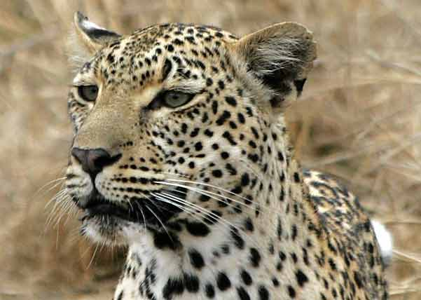 Leopard portrait, Sabi Sand Wildtuin, South Africa