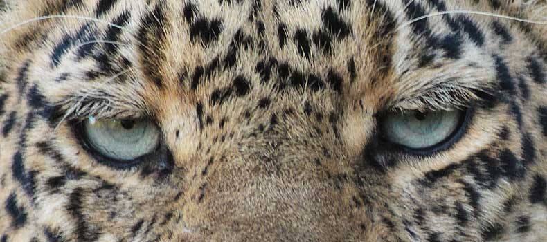 Leopard's eyes, close-up, Mashatu Game Reserve, Botswana