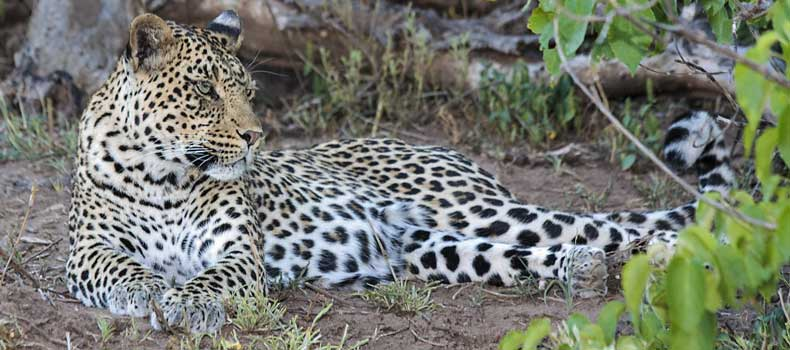 Leopard relaxing in shady spot, Mashatu Game Reserve, Botswana