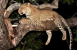 Leopard with prey in tree