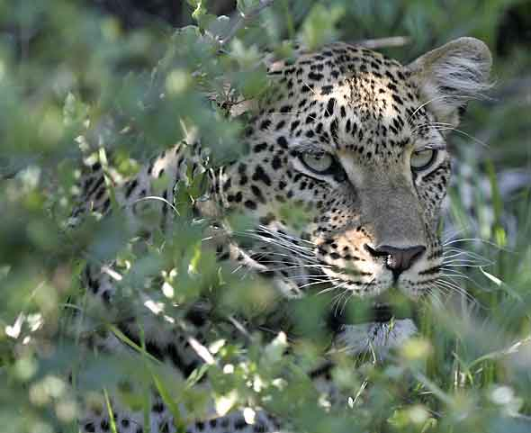 Leopard, partially concealed in thick bush