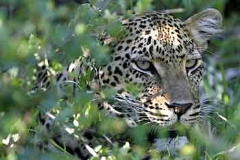 Leopard in green foliage, Sabi Sand, South Africa