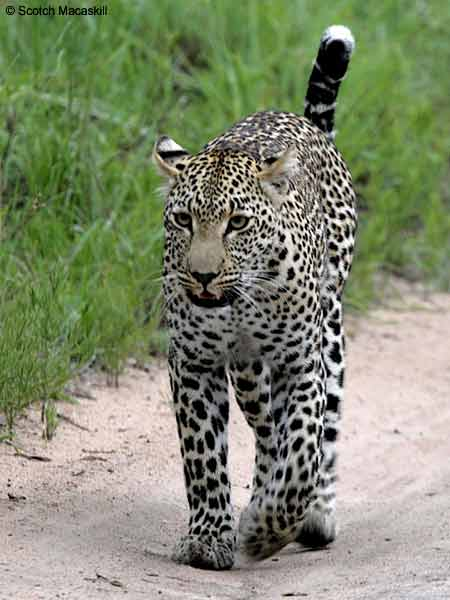 Leopard walking, front-on