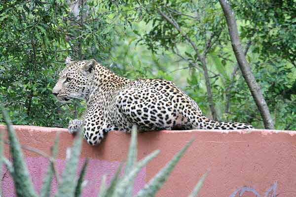 Leopard relaxing on top of wall