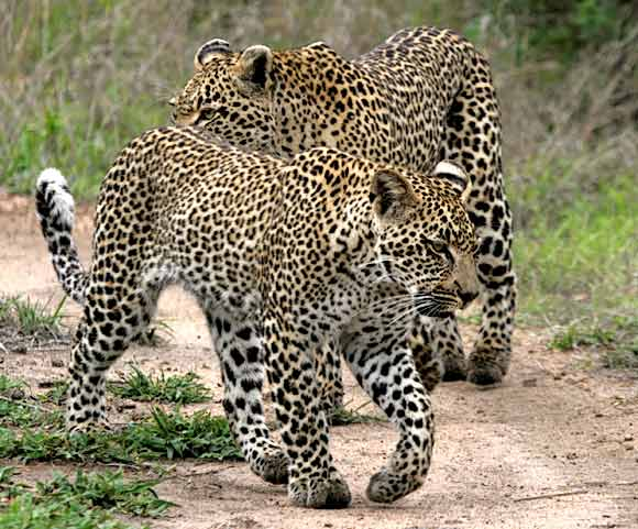 Leopard mother and sub-adult cub