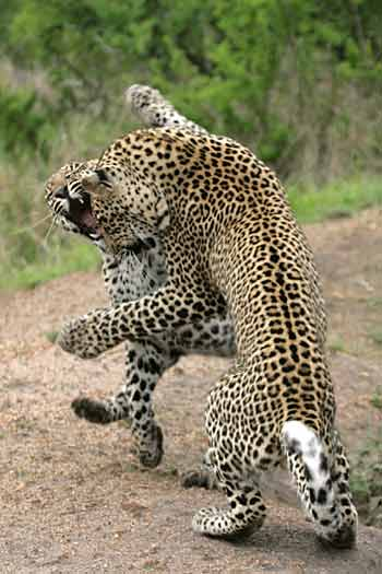 Young leopard play fighting, Sabi Sand, South Africa
