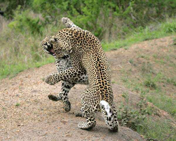 Leopard siblings learn hunting skills