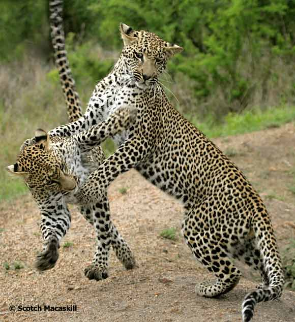 Leopards honing their hunting skill