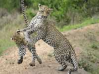 Young Leopards play-fighting