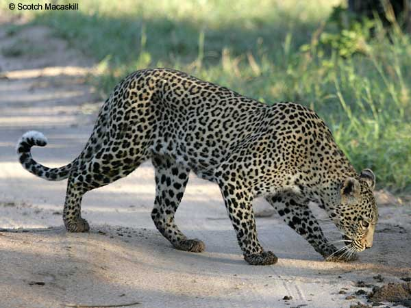Leopard sniffing