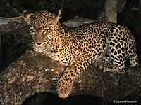 Night Shot of Leopard in Tree