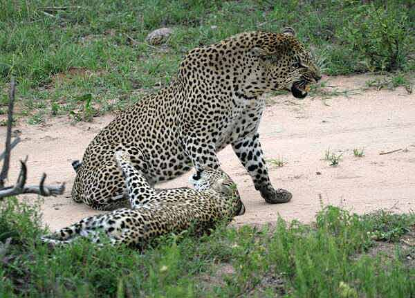Leopard male snarling at female leopard