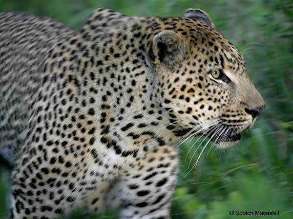 Leopard male, close-up