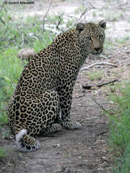 Leopard sitting on its haunches