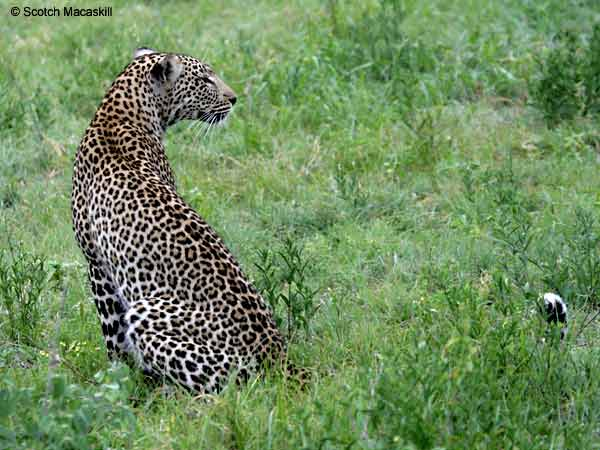 Leopard sitting in gree grass