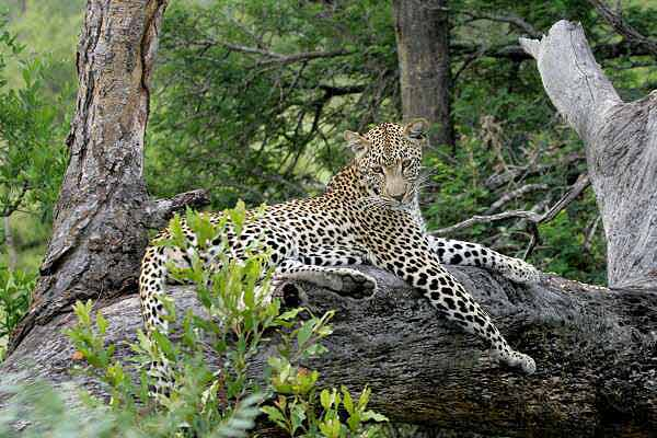 Leopard relaxing on tree stump