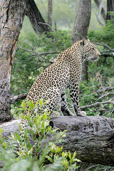Leopard sitting on tree stump