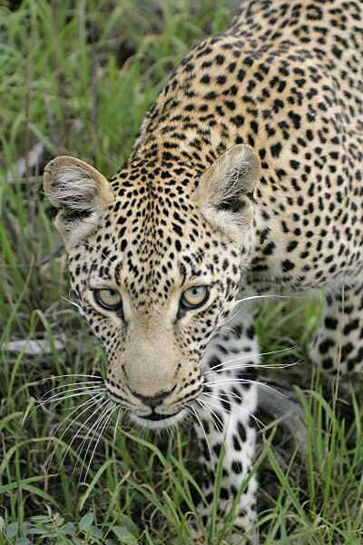 Leopard looking at camera