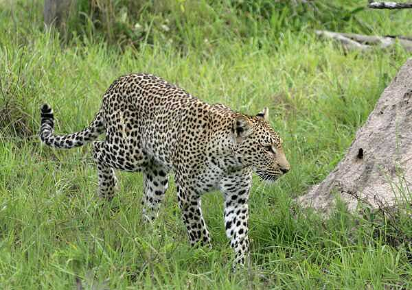 Leopard walking in summer vegetation