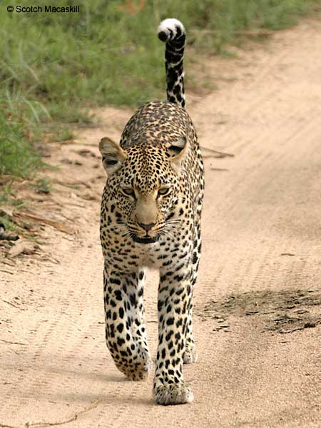 Leopard walking, front on